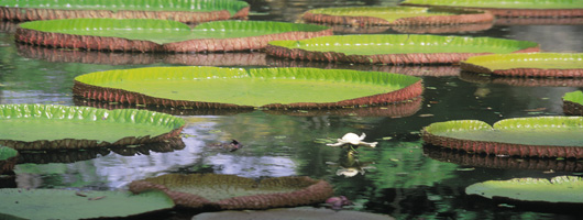 See the Pamplemousses Botanical Garden on your holiday to Mauritius